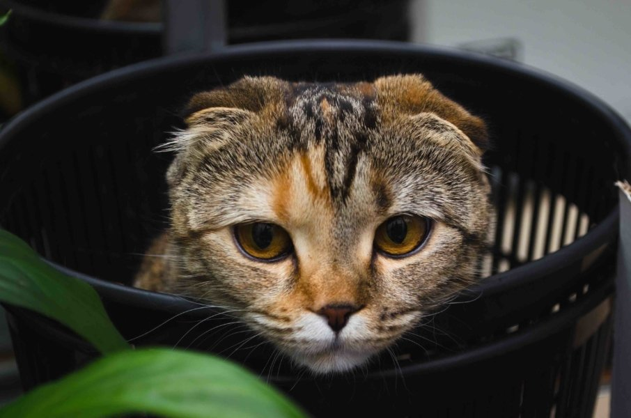 scottish fold cat in a bucket