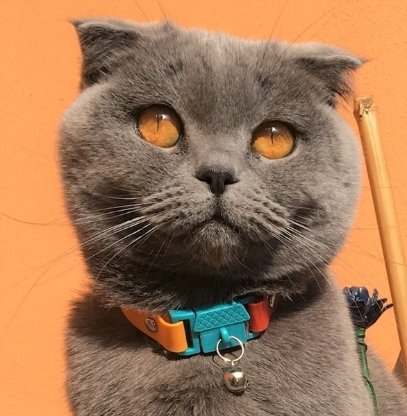 Kittyrama Cat Collar on beautiful gray cat