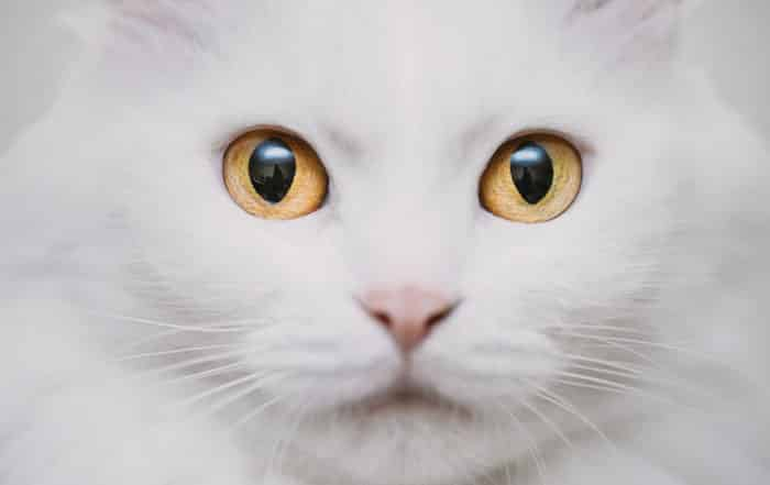 white cat with yellow eyes and pink nose